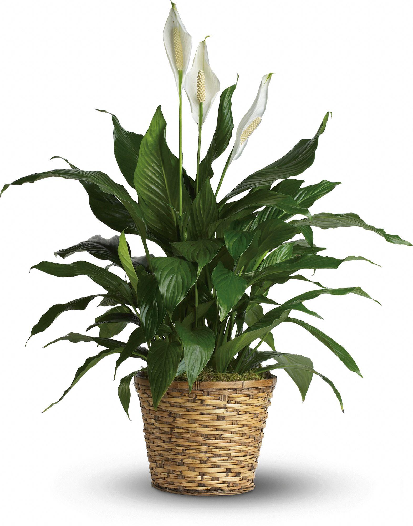 Green House Plants Easy To Grow Foliage House Plants