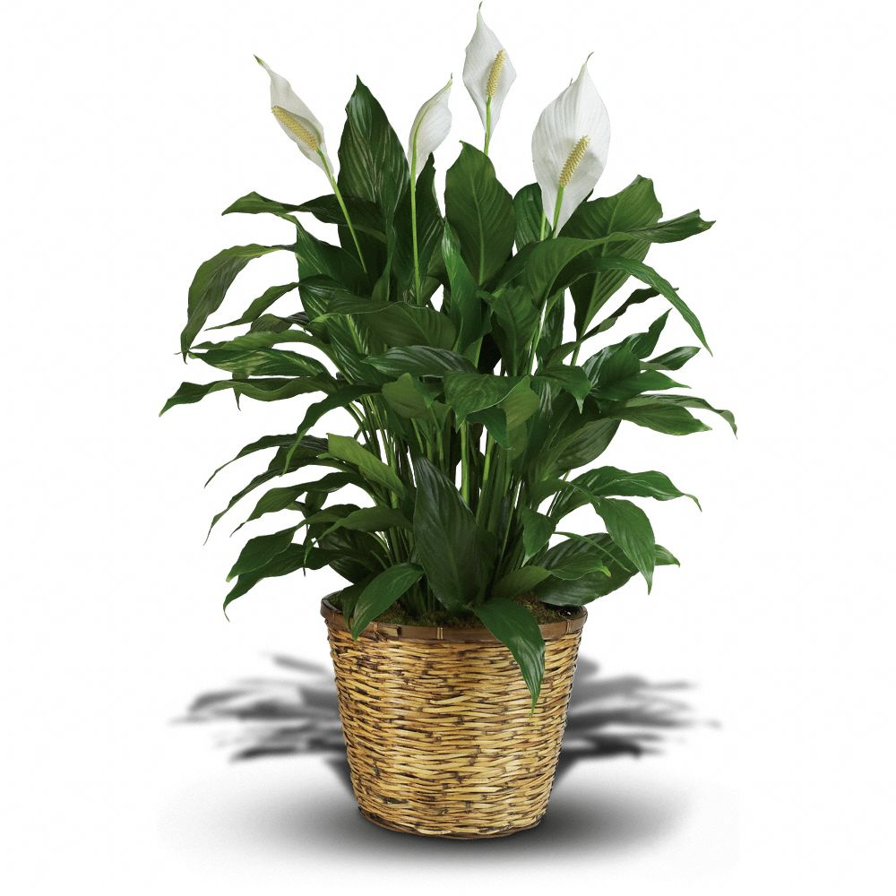 Large house plants and tall house plants - Tall house plants ...