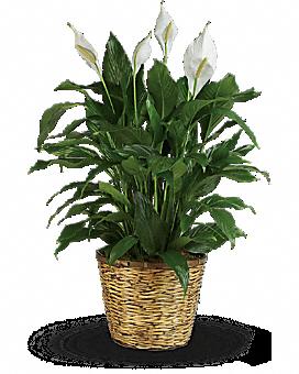 Simply Elegant Spathiphyllum - Large Plant