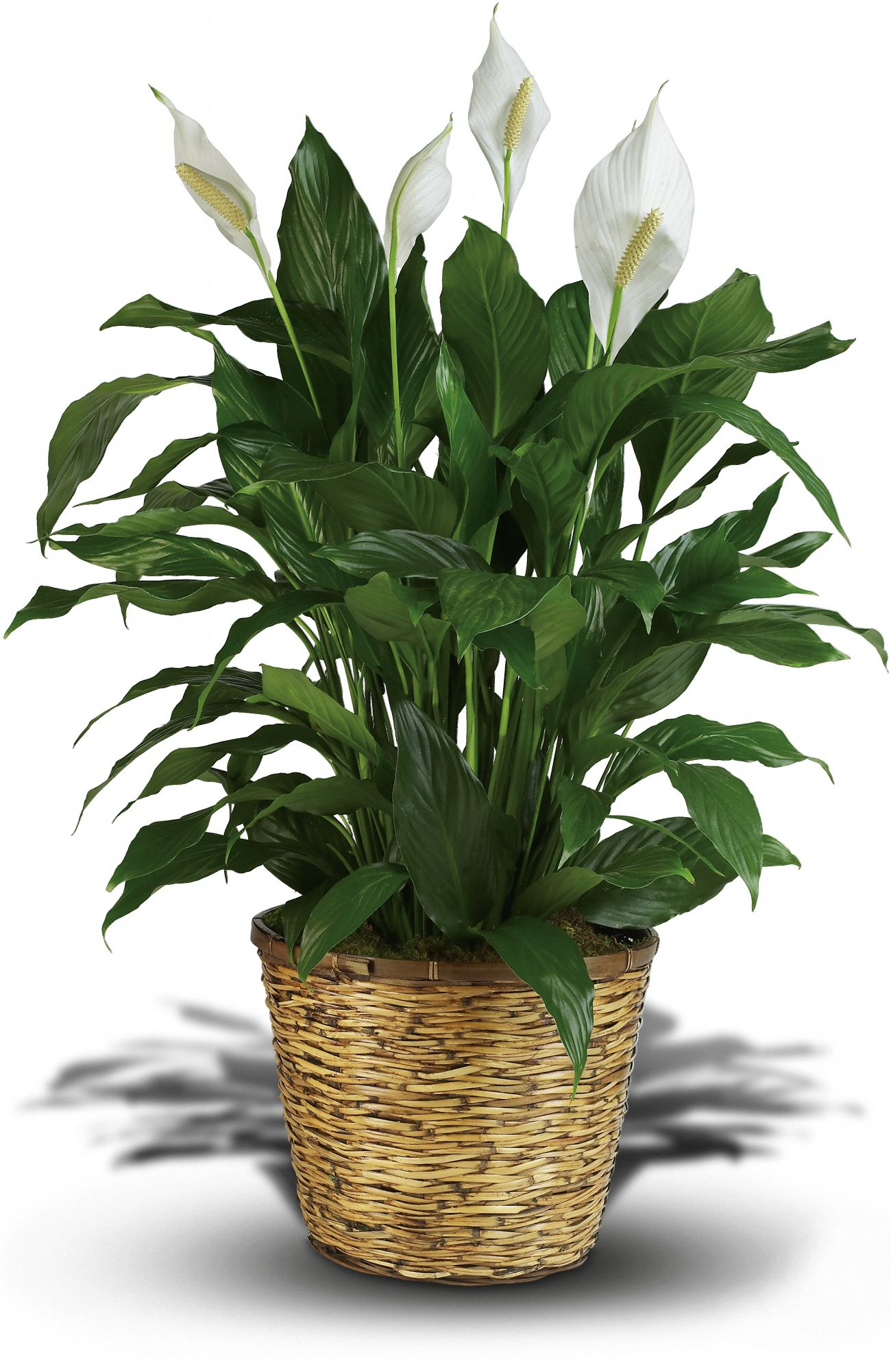 Peace Lily Plant For Sale