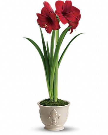 Teleflora's Merry Amaryllis Christmas Plant