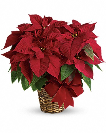 Red Poinsettia plant is potted in a 6-inch pot and presented in a natural basket decorated with wide velvet ribbon.