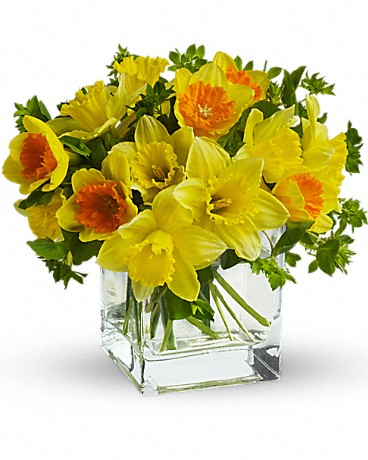Fresh cut yellow daffodils and yellow bi-color daffodils are mixed with a bit of green bupleurum in a clear cube vase.