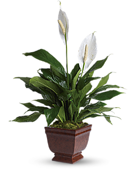 Teleflora's Lovely One Spathiphyllum Plant Plant