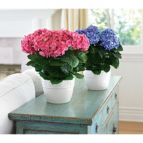 11 winter indoor plant care tips teleflora blog happy hydrangea plants in pink and blue mightylinksfo Gallery