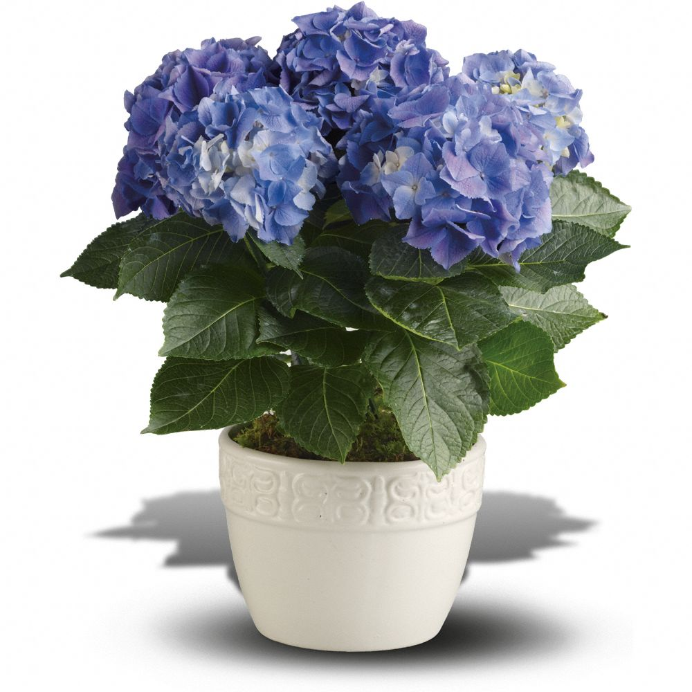 Hydrangea Care Guide For Growing Hydrangeas Indoors