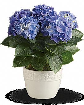 Happy Hydrangea - Blue Plant