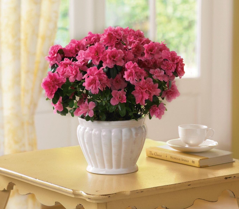 Pretty in Pink Azalea plant