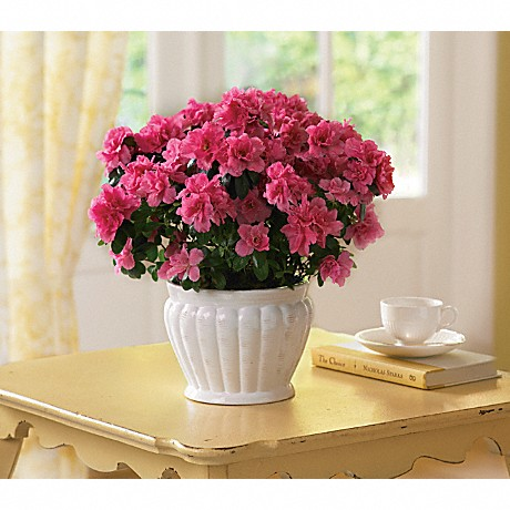 11 winter indoor plant care tips teleflora blog pretty in pink azalea plant mightylinksfo