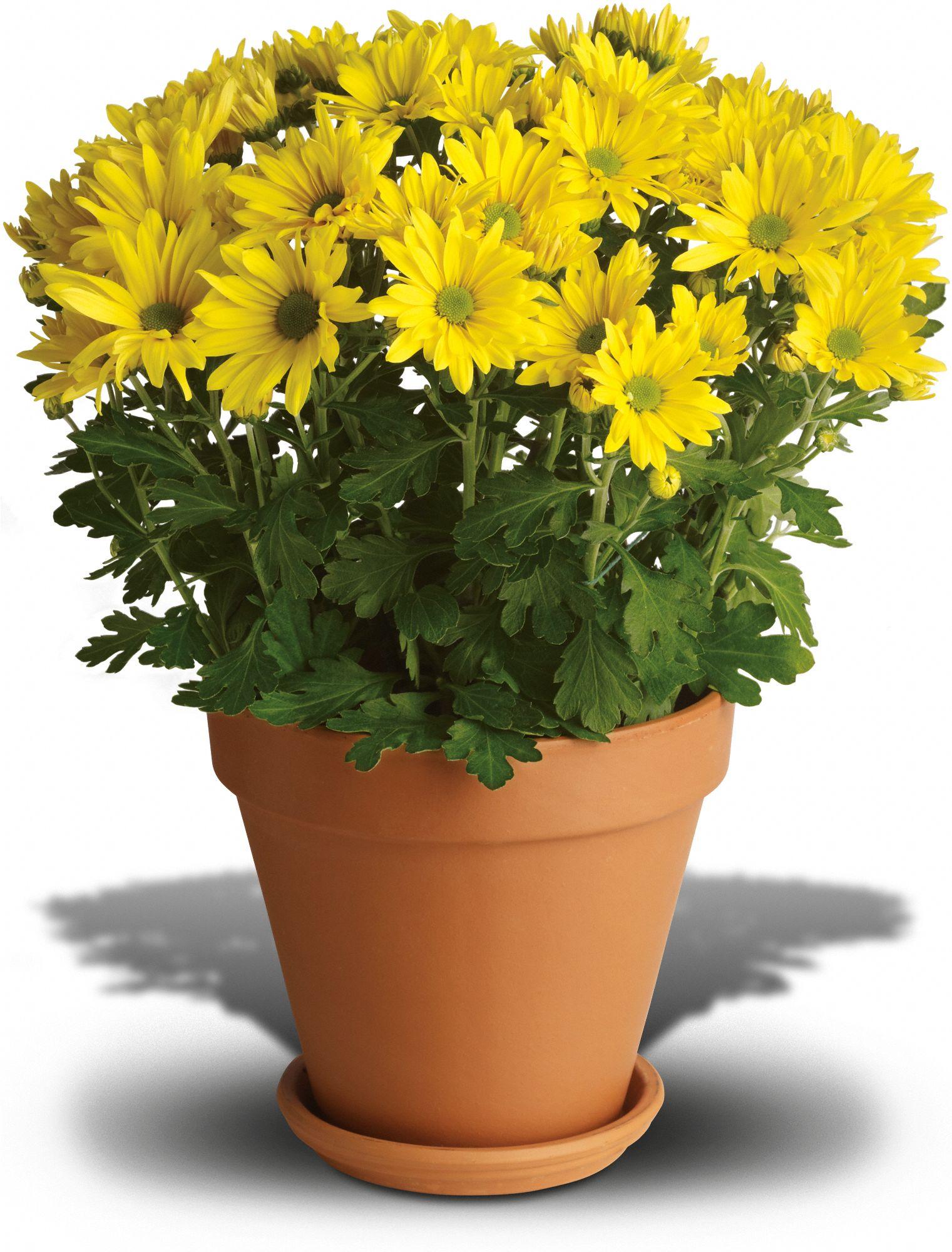 Уход за цветами в домашних условиях хризантема