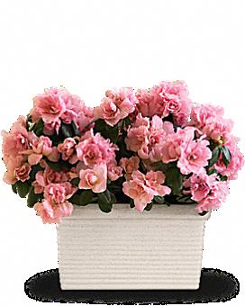 Sweet Azalea Delight Plant