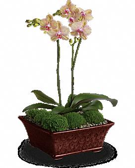 Divine Orchid Plant