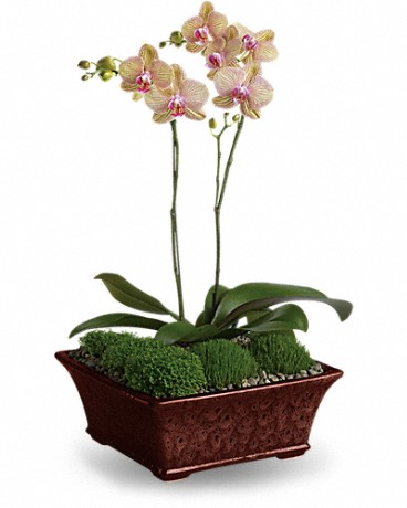 Divine Orchid Plant - two miniature lavender phalaenopsis plants are delivered in a footed planter, accompanied by gravel and moss.